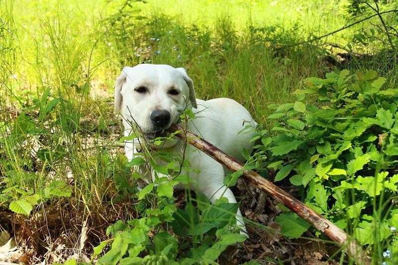 Labrador, který si hraje, nezlobí aneb Jak zaměstnat labradora